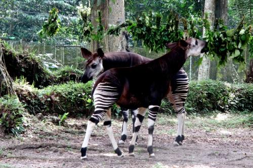 congo okapi